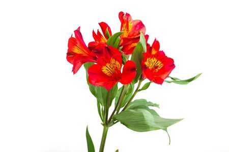 Bouquet of red alstroemeria flowers on white background
