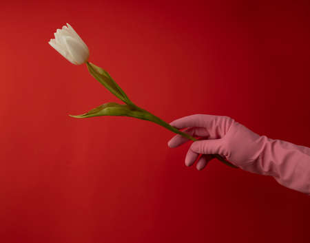 Valentine's day . White flower in pink latex gloves on red background. Present for soulmate. Love concept.