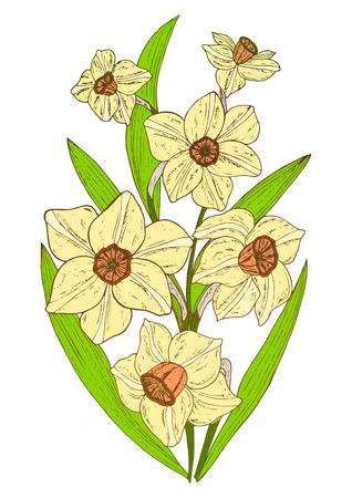 Flower Narcissus isolated on white background. Vector illustration, EPS 10