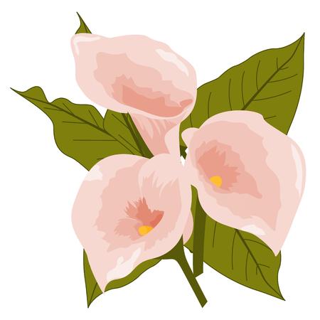 Calla flowers vector illustration.
