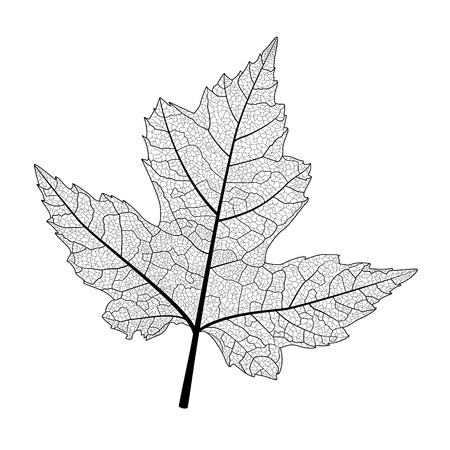Leaf maple, isolated. Vector illustration