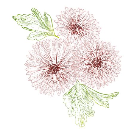 Flower Chrysanthemum isolated on white background.