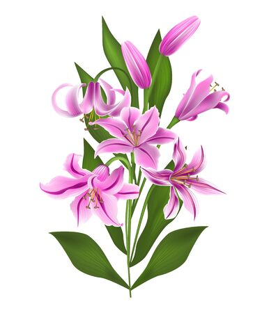 Pink lily Isolated on white background. Çizim
