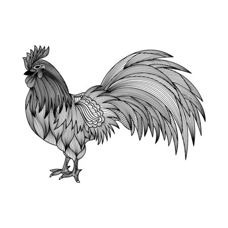 Hand drawn of Rooster isolated.