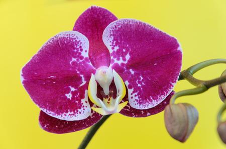 amaranthine: Purple orchid flower on a yellow background Stock Photo