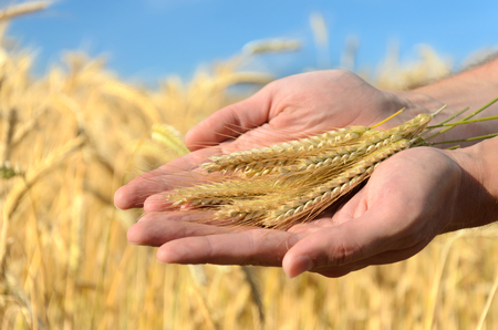 cereals holding hands: Man holding ears of wheat on a background a wheat field and sky