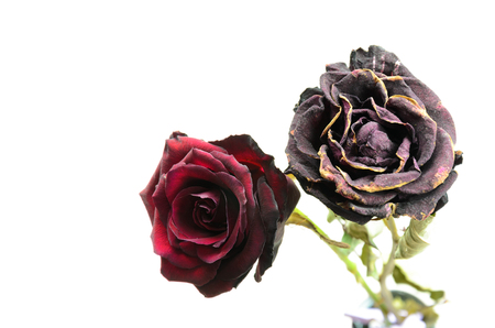 wilting: wilting roses. one fresh and one dry rose flower Stock Photo