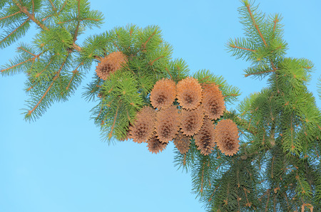 piny: pine cones on a branch against the blue sky