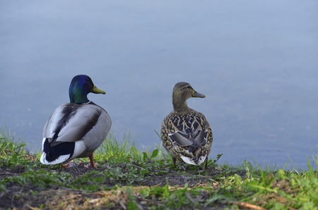 two ducks: Two ducks on the bank at a reservoir Stock Photo