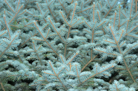 piny: blue spruce texture (background). coniferous forest