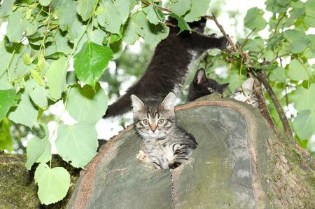 den: Kitten peeks out of the den. Wildcat