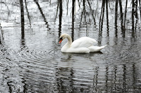solter�a: White swan live in solitude in a winter park. Solitude abstract Foto de archivo