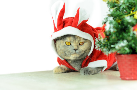 dressing up: Christmas cat dressing up in red rabbit costume and sitting near Christmas tree