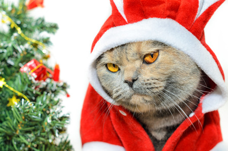 gray clothing: Christmas cat dressing up in red rabbit costume and looking at camera Stock Photo