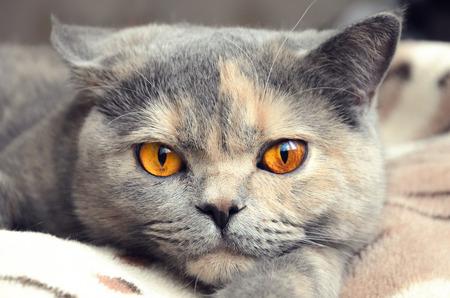 Cat looks at camera. Portrait of British shorthair cat closeup Stock Photo