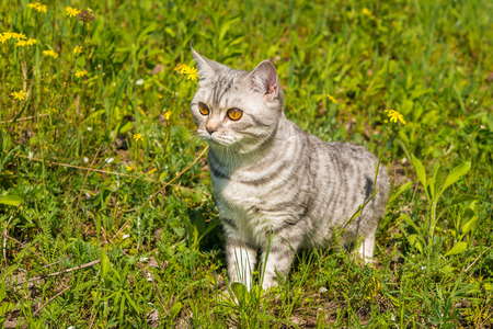 sneaks: cat on a background of a green grass