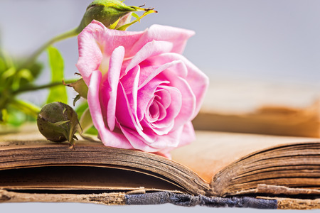 Pink roses  with rosebuds on the old  book