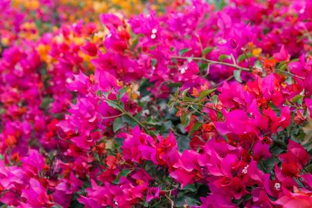 sharm el sheikh: pink bougainvillaea, Sharm el Sheikh, Egypt.
