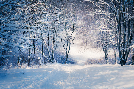 snow falling: Winter landscape in snow forest. Alley in snowy forest Stock Photo