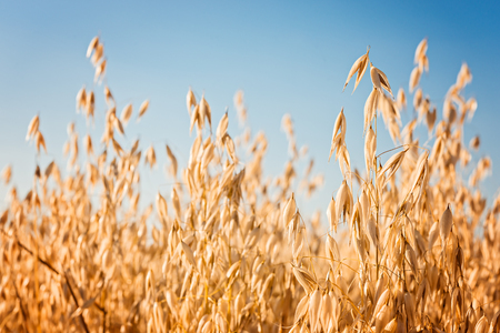 ears of oat on the field and blue sky