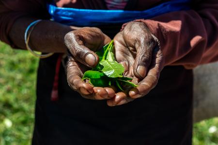 Manos sosteniendo un té de hojas frescas en la plantación de té, Sri Lanka