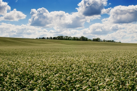 Buckwheat blossom field with blue sky and clouds. Landscape orientation photo