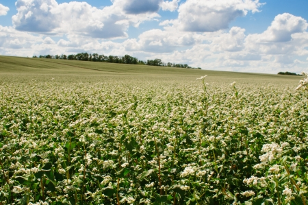 Buckwheat blossom field with blue sky and clouds. Landscape orientation Stock Photo - 14350626