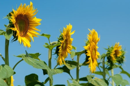 Blooming field of sunflowers, blue sky photo