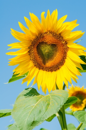Blooming field of sunflowers, blue sky,  heart-shaped photo