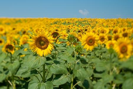 Blooming field of sunflowers, blue sky, tilt lens
