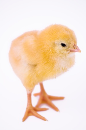 Cute little chicken isolated on white background Stock Photo - 14404994
