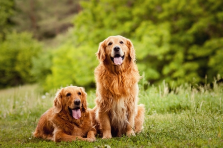 golden retriever puppy: Portrait of a two  dogs