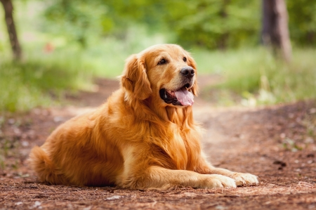 golden: Portrait of a  dog Stock Photo