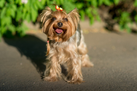 lapdog: Yorkshire Terrier oudoor portrait in the grass Stock Photo