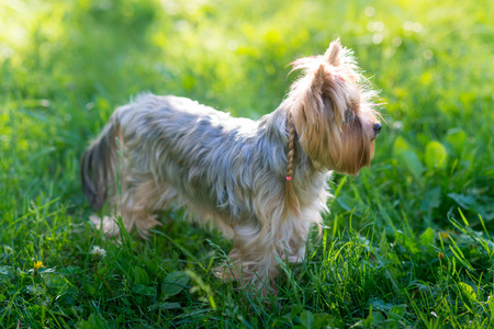 small dog: Yorkshire Terrier oudoor portrait in the grass Stock Photo