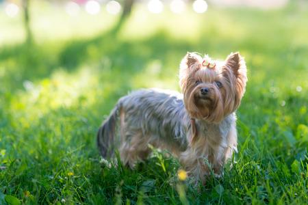 oudoor: Yorkshire Terrier oudoor portrait in the grass Stock Photo