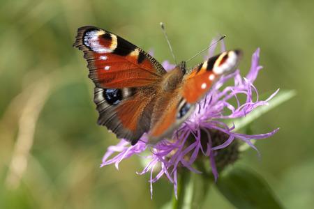 peacock butterfly: Peacock butterfly on flower. Macro.