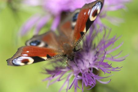 Peacock butterfly on flower. Macro.