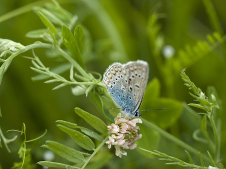 Melissa Blue butterfly perched on a stalk of grass.