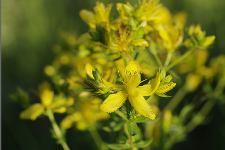 yellow wildflowers: Wildflowers yellow wildflowers blossoming in field. Stock Photo