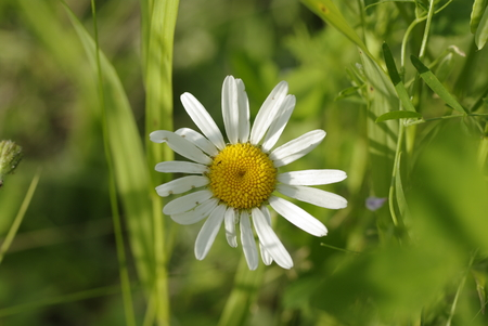 german chamomile: Chamomiles blossoming in field. Stock Photo