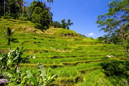 terraced: Terraced fields in sunshine. Tegalalang rice terrace. Bali Stock Photo