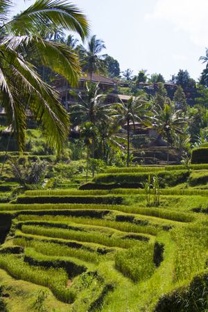 tegalalang: Terraced fields in sunshine. Tegalalang rice terrace. Bali Stock Photo