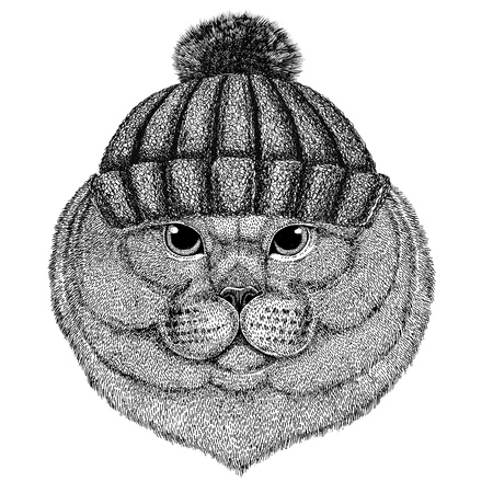 Brithish noble cat Male wearing winter knitted hat