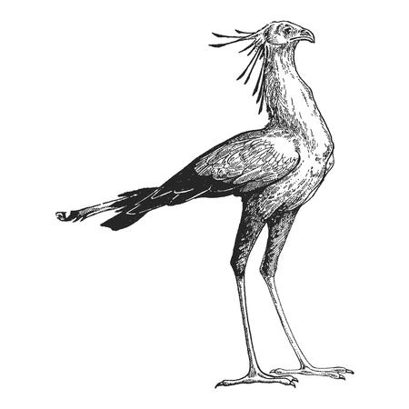 Hand drawn illustration of Secretary bird. Vettoriali