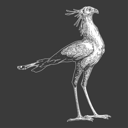 Hand drawn illustration of Secretary bird. Vectores