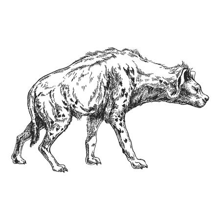 Hand drawn illustration of Hyena. Vectores
