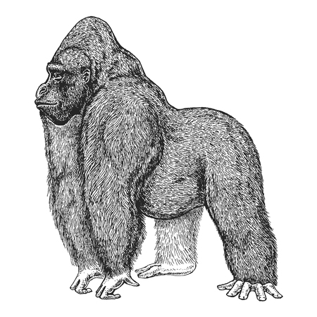 Hand drawn illustration of Gorilla