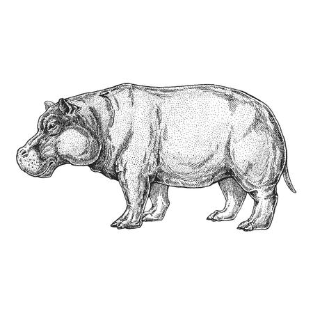 Hand drawn illustration of hippopotamus