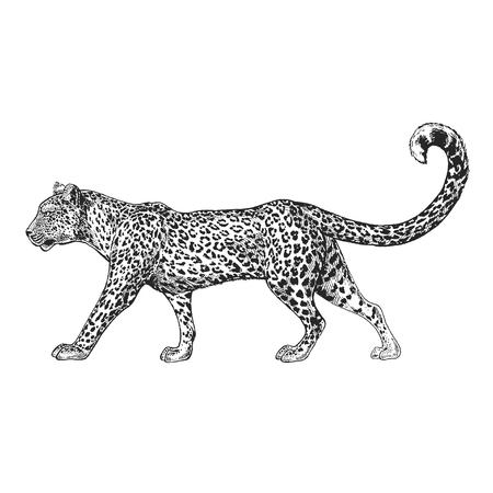 Hand drawn illustration for tattoo design, emblem, badge, t-shirt print. Engraving of wild animal. Classic vintage style image.  イラスト・ベクター素材